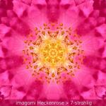 04-Heckenrose-7er